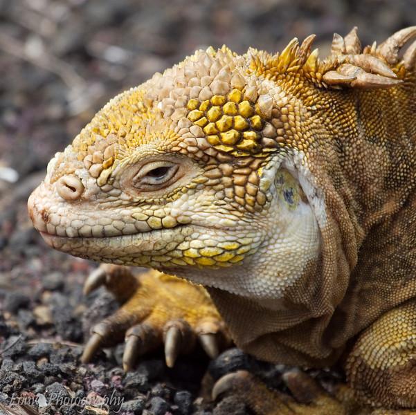 "<a target=""NEWWIN"" href=""http://en.wikipedia.org/wiki/Galapagos_Land_Iguana"">Galápagos Land Iguana (<i>Conolophus subcristatus</i>)</a>, Santa Cruz, <a target=""NEWWIN"" href=""http://en.wikipedia.org/wiki/Gal%C3%A1pagos_Islands"">Galápagos Islands</a>"