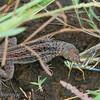 "<a target=""NEWWIN"" href=""http://en.wikipedia.org/wiki/Lava_lizard"">Lava Lizard (<i>Microlophus</i>)</a> enjoying a grasshopper for breakfast, Puerto Egas, Santiago, <a target=""NEWWIN"" href=""http://en.wikipedia.org/wiki/Gal%C3%A1pagos_Islands"">Galápagos Islands</a>"