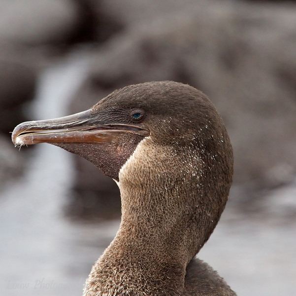 "<a target=""NEWWIN"" href=""http://en.wikipedia.org/wiki/Flightless_Cormorant"">Flightless Cormorant (<i>Nannopterum harrisi</i>)</a>, Punta Espinosa, Fernandina, <a target=""NEWWIN"" href=""http://en.wikipedia.org/wiki/Gal%C3%A1pagos_Islands"">Galápagos Islands</a>"