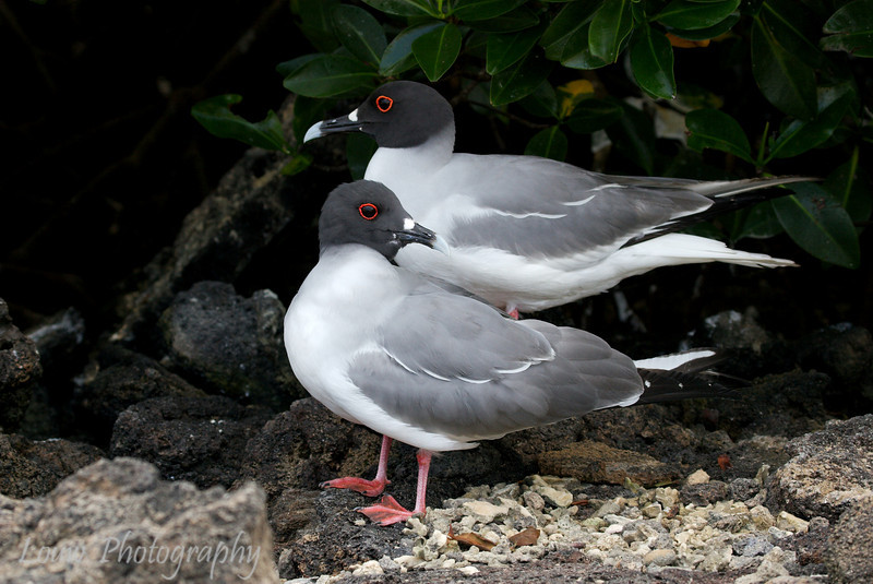 "<a target=""NEWWIN"" href=""http://en.wikipedia.org/wiki/Swallow-tailed_Gull"">Swallow-tailed Gull (<i>Creagrus furcatus</i>)</a>, Darwin Bay, Genovesa, <a target=""NEWWIN"" href=""http://en.wikipedia.org/wiki/Gal%C3%A1pagos_Islands"">Galápagos Islands</a>"
