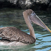 "<a target=""NEWWIN"" href=""http://en.wikipedia.org/wiki/Brown_Pelican"">Brown Pelican (<i>Pelecanus occidentalis</i>)</a>, Tagus Cove, Isabela, <a target=""NEWWIN"" href=""http://en.wikipedia.org/wiki/Gal%C3%A1pagos_Islands"">Galápagos Islands</a>"