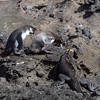"<a target=""NEWWIN"" href=""http://en.wikipedia.org/wiki/Galapagos_Penguin"">Galápagos Penguins (<i>Spheniscus mendiculus</i>)</a> and a marine iguana, Tagus Cove, Isabela, <a target=""NEWWIN"" href=""http://en.wikipedia.org/wiki/Gal%C3%A1pagos_Islands"">Galápagos Islands</a>"