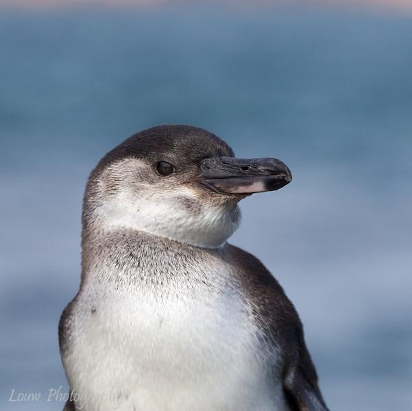 "<a target=""NEWWIN"" href=""http://en.wikipedia.org/wiki/Galapagos_Penguin"">Galápagos Penguin (<i>Spheniscus mendiculus</i>)</a>, Santiago, <a target=""NEWWIN"" href=""http://en.wikipedia.org/wiki/Gal%C3%A1pagos_Islands"">Galápagos Islands</a>"