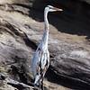 "<a target=""NEWWIN"" href=""http://en.wikipedia.org/wiki/Great_blue_heron"">Great Blue Heron (<i>Ardea herodias</i>)</a>, Tagus Cove, Isabela, <a target=""NEWWIN"" href=""http://en.wikipedia.org/wiki/Gal%C3%A1pagos_Islands"">Galápagos Islands</a>"