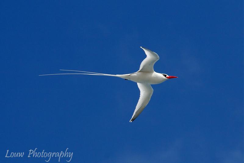"<a target=""NEWWIN"" href=""http://en.wikipedia.org/wiki/Red-billed_Tropicbird"">Red-Billed Tropicbird (<i>Phaeton aethereus</i>)</a>, Punta Suarez, Española, <a target=""NEWWIN"" href=""http://en.wikipedia.org/wiki/Gal%C3%A1pagos_Islands"">Galápagos Islands</a>"