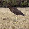 """<a target=""""NEWWIN"""" href=""""http://en.wikipedia.org/wiki/Lava_Heron"""">Juvenile Lava Heron (<i>Butorides sundevalli</i>)</a>, Darwin Bay, Genovesa, <a target=""""NEWWIN"""" href=""""http://en.wikipedia.org/wiki/Gal%C3%A1pagos_Islands"""">Galápagos Islands</a>"""