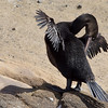 "<a target=""NEWWIN"" href=""http://en.wikipedia.org/wiki/Flightless_Cormorant"">Flightless Cormorant (<i>Nannopterum harrisi</i>)</a>, Tagus Cove, Isabela, <a target=""NEWWIN"" href=""http://en.wikipedia.org/wiki/Gal%C3%A1pagos_Islands"">Galápagos Islands</a>"