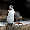 "<a target=""NEWWIN"" href=""http://en.wikipedia.org/wiki/Galapagos_Penguin"">Galápagos Penguin (<i>Spheniscus mendiculus</i>)</a> and a Sally Lightfoot Crab, Tagus Cove, Isabela, <a target=""NEWWIN"" href=""http://en.wikipedia.org/wiki/Gal%C3%A1pagos_Islands"">Galápagos Islands</a>"
