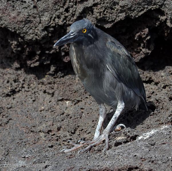 "<a target=""NEWWIN"" href=""http://en.wikipedia.org/wiki/Lava_Heron"">Lava Heron (<i>Butorides sundevalli</i>)</a>, Puerto Egas, Santiago, <a target=""NEWWIN"" href=""http://en.wikipedia.org/wiki/Gal%C3%A1pagos_Islands"">Galápagos Islands</a>"