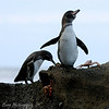 "<a target=""NEWWIN"" href=""http://en.wikipedia.org/wiki/Galapagos_Penguin"">Galápagos Penguin (<i>Spheniscus mendiculus</i>)</a>, Tagus Cove, Isabela, <a target=""NEWWIN"" href=""http://en.wikipedia.org/wiki/Gal%C3%A1pagos_Islands"">Galápagos Islands</a>"