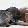 "Young <a target=""NEWWIN"" href=""http://en.wikipedia.org/wiki/California_Sea_Lion"">Sea lion (<i>Zalophus californianus</i>)</a> nursing, Darwin Bay, Genovesa, <a target=""NEWWIN"" href=""http://en.wikipedia.org/wiki/Gal%C3%A1pagos_Islands"">Galápagos Islands</a>"