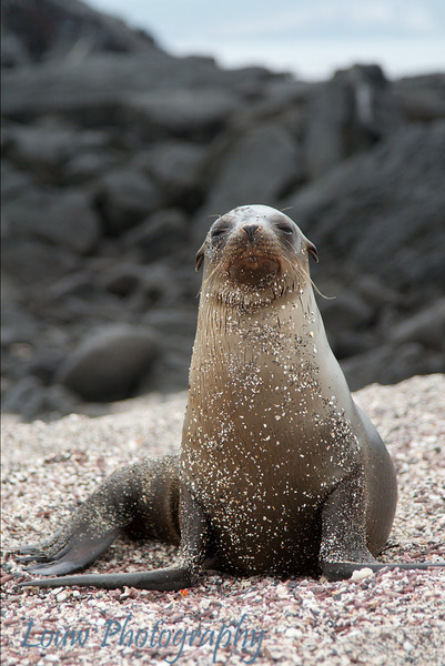 "<a target=""NEWWIN"" href=""http://en.wikipedia.org/wiki/California_Sea_Lion"">Sea lion (<i>Zalophus californianus</i>)</a>, Punta Espinosa, Fernandina, <a target=""NEWWIN"" href=""http://en.wikipedia.org/wiki/Gal%C3%A1pagos_Islands"">Galápagos Islands</a>"