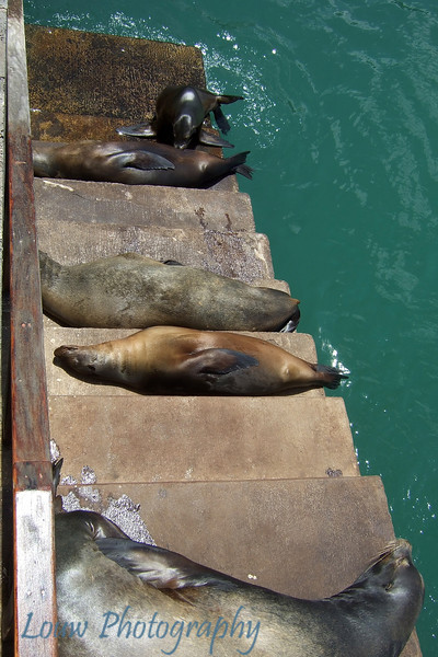 "<a target=""NEWWIN"" href=""http://en.wikipedia.org/wiki/California_Sea_Lion"">Sea lions (<i>Zalophus californianus</i>)</a> hanging out by the dock, San Cristóbal, <a target=""NEWWIN"" href=""http://en.wikipedia.org/wiki/Gal%C3%A1pagos_Islands"">Galápagos Islands</a>"