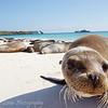 "<a target=""NEWWIN"" href=""http://en.wikipedia.org/wiki/California_Sea_Lion"">Sea lion (<i>Zalophus californianus</i>)</a>, Gardner Bay, Española, <a target=""NEWWIN"" href=""http://en.wikipedia.org/wiki/Gal%C3%A1pagos_Islands"">Galápagos Islands</a>"