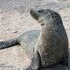 "<a target=""NEWWIN"" href=""http://en.wikipedia.org/wiki/California_Sea_Lion"">Sea lion (<i>Zalophus californianus</i>)</a>, Punta Suarez, Española, <a target=""NEWWIN"" href=""http://en.wikipedia.org/wiki/Gal%C3%A1pagos_Islands"">Galápagos Islands</a>"