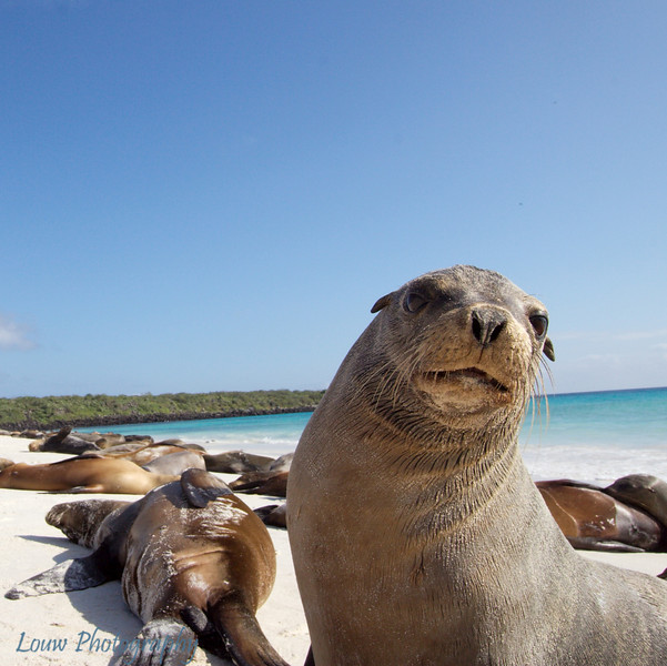 "<a target=""NEWWIN"" href=""http://en.wikipedia.org/wiki/California_Sea_Lion"">Sea lion (<i>Zalophus californianus</i>)</a>, Gardner Bay, Española, <a target=""NEWWIN"" href=""http://en.wikipedia.org/wiki/Gal%C3%A1pagos_Islands"">Galápagos Islands</a>"