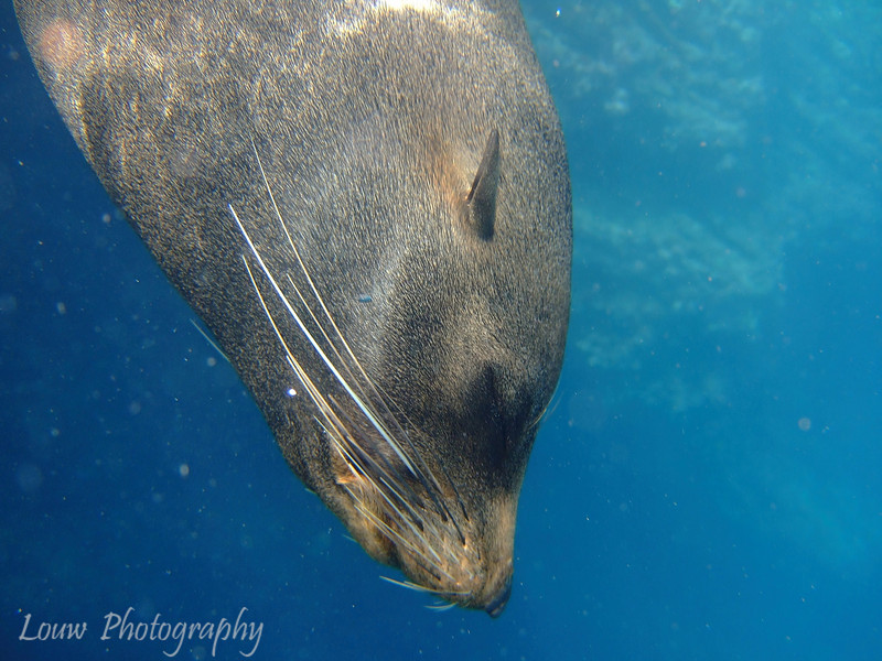 "<a target=""NEWWIN"" href=""http://en.wikipedia.org/wiki/California_Sea_Lion"">Sea lion (<i>Zalophus californianus</i>)</a>, Cousin's Rock, <a target=""NEWWIN"" href=""http://en.wikipedia.org/wiki/Gal%C3%A1pagos_Islands"">Galápagos Islands</a>"