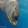 "<a target=""NEWWIN"" href=""http://en.wikipedia.org/wiki/California_Sea_Lion"">Sea lion (<i>Zalophus californianus</i>)</a>, Cousin's Rock, <a target=""NEWWIN"" href=""http://en.wikipedia.org/wiki/Gal%C3%A1pagos_Islands"">Galápagos Islands</a>"
