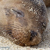 "<a target=""NEWWIN"" href=""http://en.wikipedia.org/wiki/California_Sea_Lion"">Sea lion (<i>Zalophus californianus</i>)</a>, Darwin Bay, Genovesa, <a target=""NEWWIN"" href=""http://en.wikipedia.org/wiki/Gal%C3%A1pagos_Islands"">Galápagos Islands</a>"