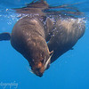 "Mating <a target=""NEWWIN"" href=""http://en.wikipedia.org/wiki/California_Sea_Lion"">Sea lions (<i>Zalophus californianus</i>)</a>, Cousin's Rock, <a target=""NEWWIN"" href=""http://en.wikipedia.org/wiki/Gal%C3%A1pagos_Islands"">Galápagos Islands</a>"