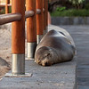 "<a target=""NEWWIN"" href=""http://en.wikipedia.org/wiki/California_Sea_Lion"">Sea lion (<i>Zalophus californianus</i>)</a>, San Cristóbal, <a target=""NEWWIN"" href=""http://en.wikipedia.org/wiki/Gal%C3%A1pagos_Islands"">Galápagos Islands</a>"