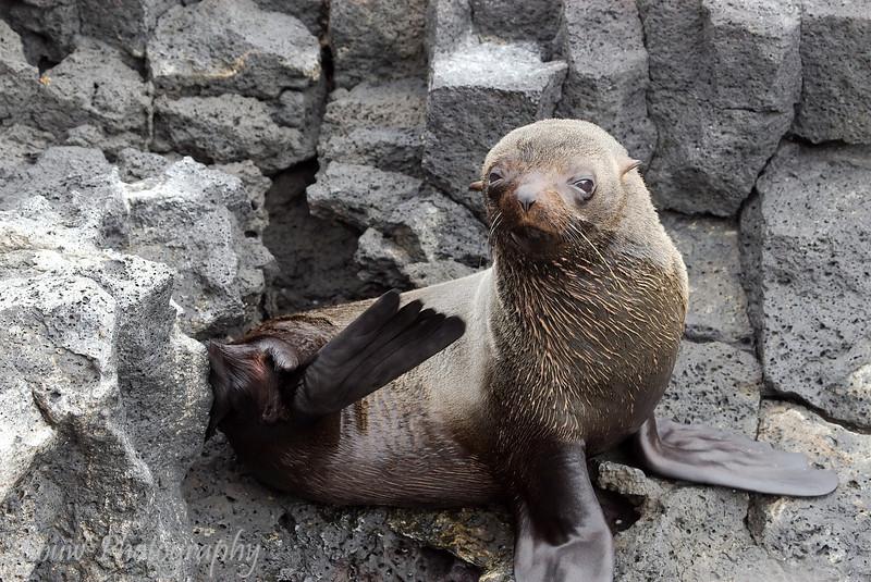 "<a target=""NEWWIN"" href=""http://en.wikipedia.org/wiki/Galapagos_Fur_Seal"">Fur sea lion (<i>Arctocephalus galapagoensis</i>)</a>, Puerto Egas, Santiago, <a target=""NEWWIN"" href=""http://en.wikipedia.org/wiki/Gal%C3%A1pagos_Islands"">Galápagos Islands</a>"