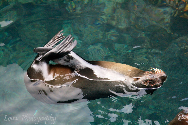 "<a target=""NEWWIN"" href=""http://en.wikipedia.org/wiki/Galapagos_Fur_Seal"">Fur sea lion (<i>Arctocephalus galapagoensis</i>)</a> practicing yoga, Puerto Egas, Santiago, <a target=""NEWWIN"" href=""http://en.wikipedia.org/wiki/Gal%C3%A1pagos_Islands"">Galápagos Islands</a>"