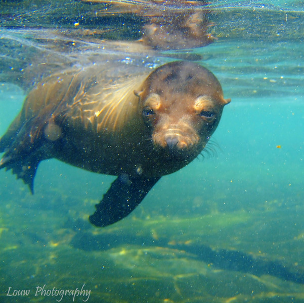 "<a target=""NEWWIN"" href=""http://en.wikipedia.org/wiki/California_Sea_Lion"">Sea lion (<i>Zalophus californianus</i>)</a>, Puerto Egas, Santiago, <a target=""NEWWIN"" href=""http://en.wikipedia.org/wiki/Gal%C3%A1pagos_Islands"">Galápagos Islands</a>"