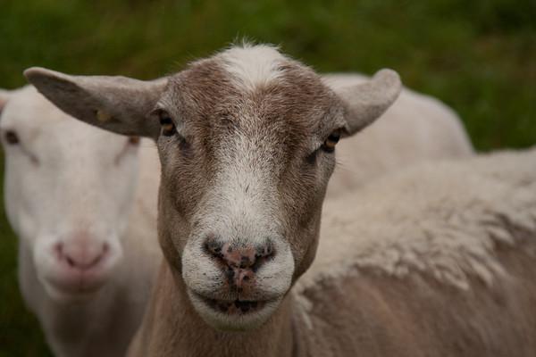 Sheep ... Union Maine
