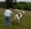 Sheep Whisperer