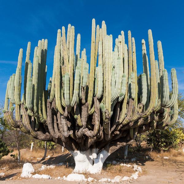Giant cactus in Mexico