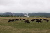 Buffalo graze in the fields among the Geysers