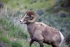 Big Horn Ram - North East loop of Yellowstone