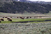 Buffalo of Yellowstone Park - there are several herds around the park