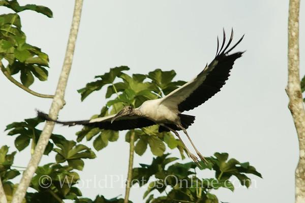 Wood Stork in flight