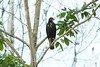 Great Black Hawk - Juvenile