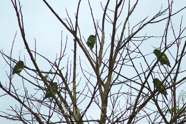 White-winged Parakeet