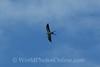 Swallow-tailed Kite