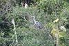 White-necked Heron (Cocoi)