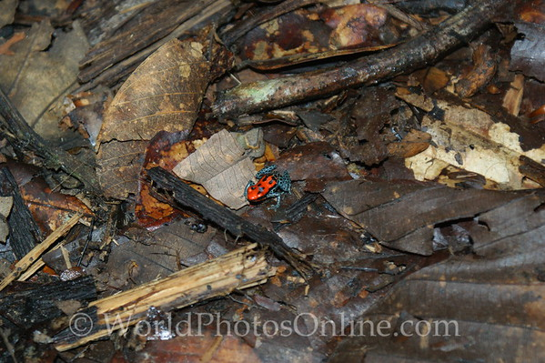 Red Backed Poison Frog 1