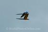 Blue & Yellow Macaw 2 in flight