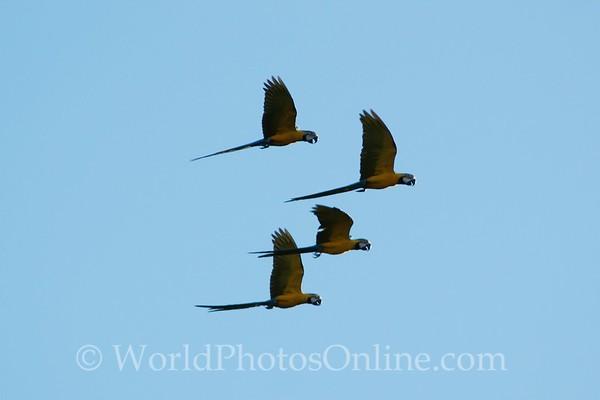 Blue & Yellow Macaw 4 in flight