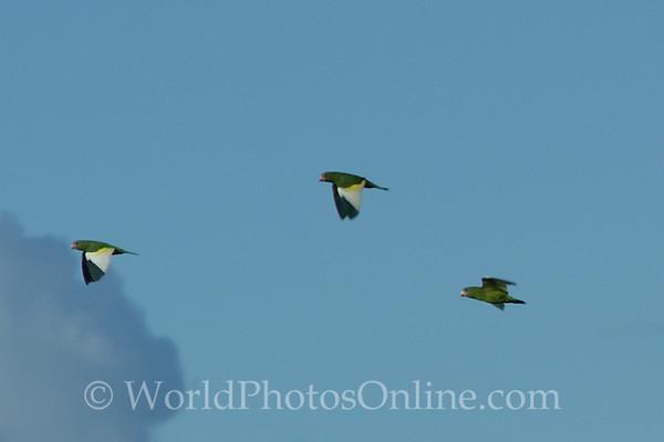White-winged Parakeet in flight