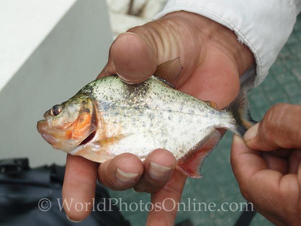 Silver Piranha