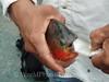 Red Piranha - Eating