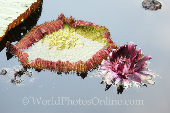 Amazon River - Giant Water Lilly 3