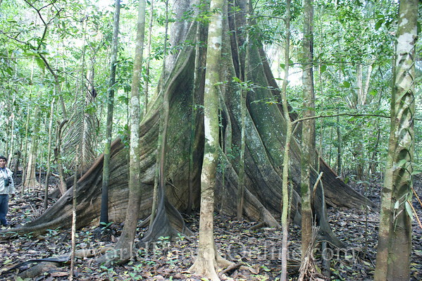 Amazon River - Forest Walk - White Kapoc - King of the Forest 1