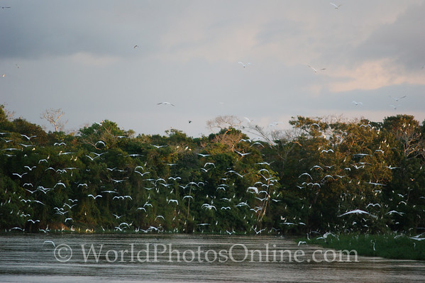 Amazon River - Great Egret flock on Tributary