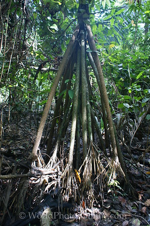 Amazon River - Forest Walk - Walking Palm