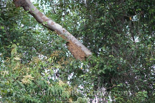 Amazon River - Termite Nest